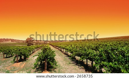 Beautiful scenic vineyard with clear orange sky - stock photo