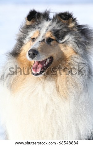 Beautiful Scotch Collie in winter - stock photo