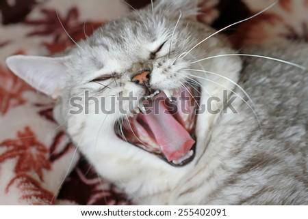 beautiful scottish cat - stock photo