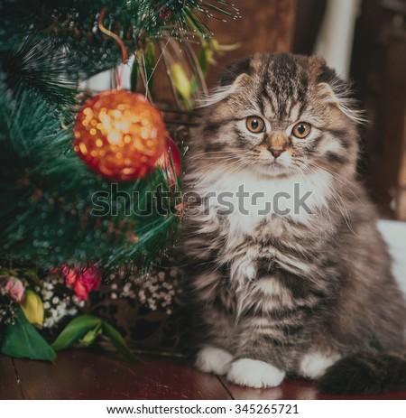 Beautiful Scottish cats in studio, closeup - stock photo