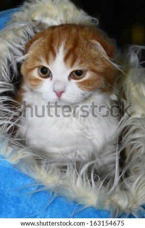 Beautiful Scottish Fold breed kitty in blue cat igloo (vertical)  - stock photo