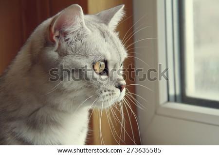 beautiful scottish kitten looking at the window - stock photo