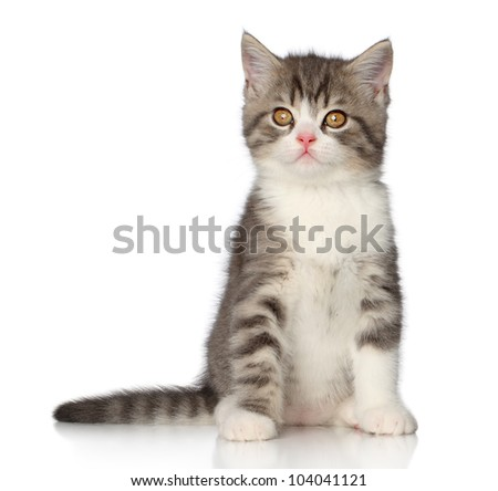 Beautiful Scottish shorthair kitten sits on a white background