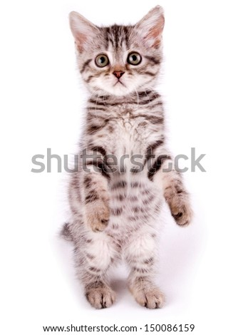 Beautiful Scottish young cat - stock photo