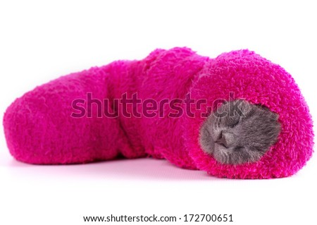 Beautiful Scottish young kitten in a sock on a white background
