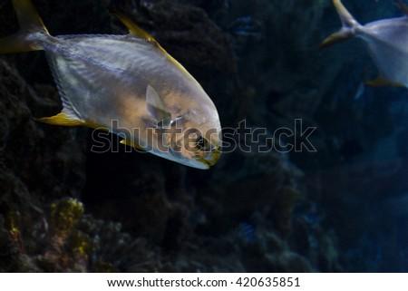 Beautiful sea fish swims in the sea water - stock photo