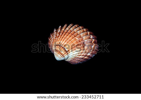beautiful sea shell  isolated on black background - stock photo