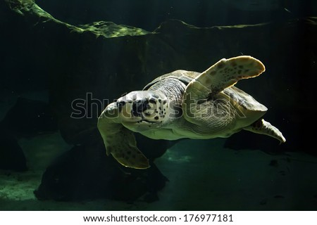 beautiful sea turtle swimming - stock photo