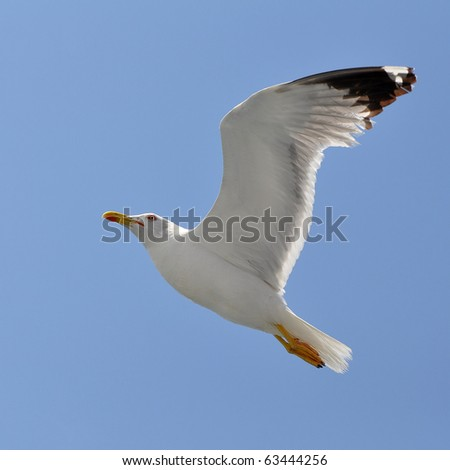 beautiful seagull - stock photo
