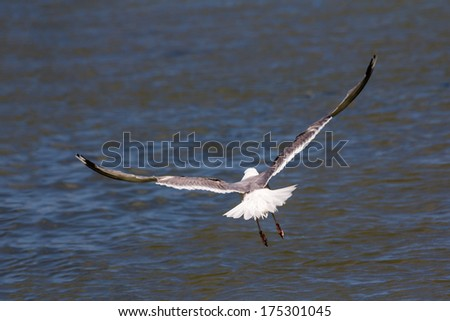 Beautiful seagull soaring over the water - stock photo