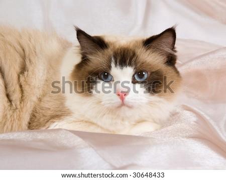 Beautiful seal bicolor Ragdoll on shiny beige background fabric - stock photo