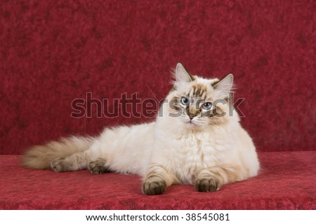 Beautiful seal lynx point Ragdoll on mottled background fabric - stock photo