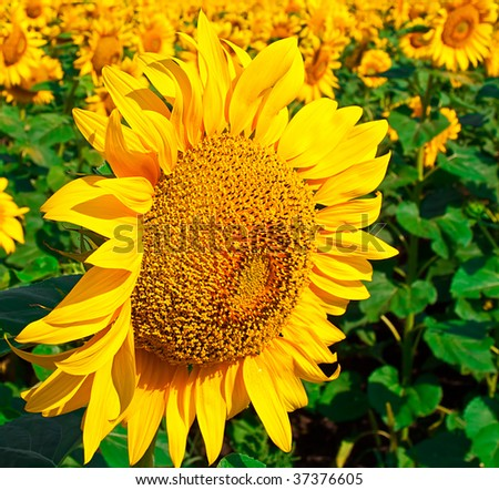 Beautiful seed of sunflower against the field from seeds of sunflower - stock photo