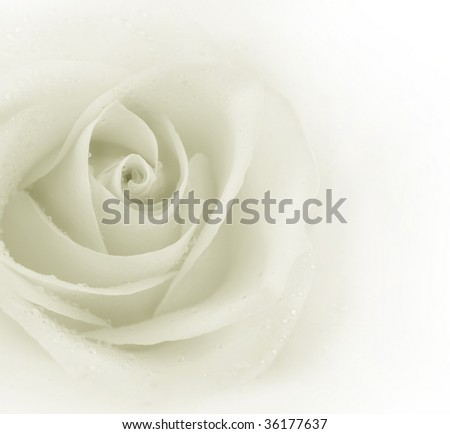 Beautiful Sepia Rose - stock photo