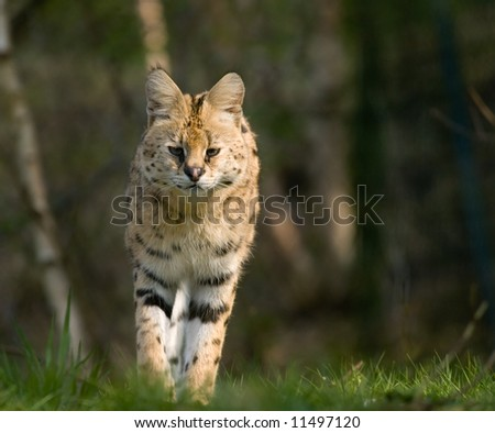 beautiful serval walking towards the camera (Leptailurus serval) - stock photo