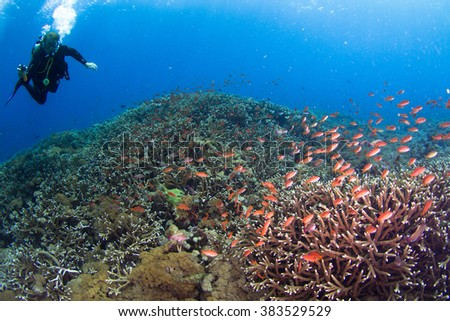 Beautiful shallow reef at shallow water with the group of small coral fishes and silhouette of a diver above the reef. Nusa Penida, Indonesia. - stock photo