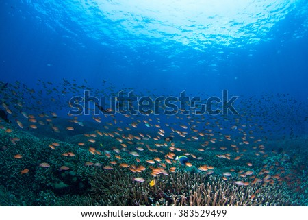 Beautiful shallow reef at shallow water with the group of small coral fishes. Nusa Penida, Indonesia. - stock photo