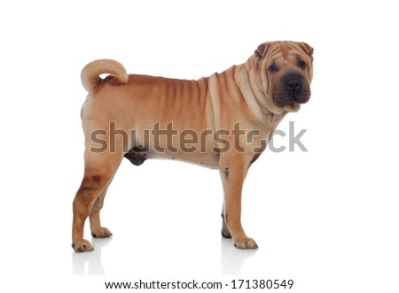 Beautiful SharPei Dog Breed isolated on a white background - stock photo