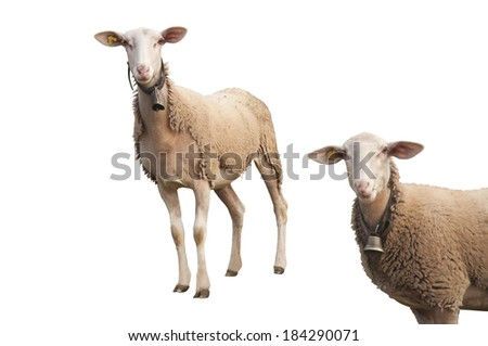 Beautiful Sheep with Ear Chip in Switzerland, Isolated on White