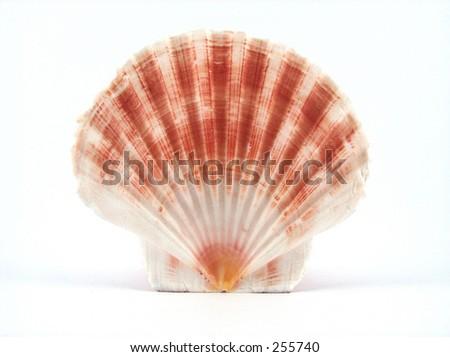 beautiful shell - stock photo