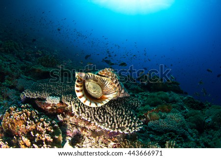 Beautiful shell on the top of the hard coral. Schooling fish in shallow water.   - stock photo