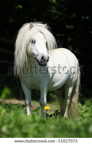 Beautiful shetland pony stallion on dark background - stock photo