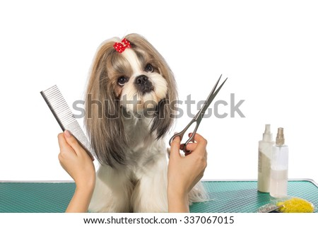 Beautiful shih-tzu dog at the groomer's hands with comb and  scissors - isolated on white - stock photo
