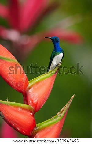 Beautiful shining blue and white White-necked Jacobin Florisuga mellivora perched on the top of red heliconia flower. Blurred red and green background, nice bokeh. - stock photo
