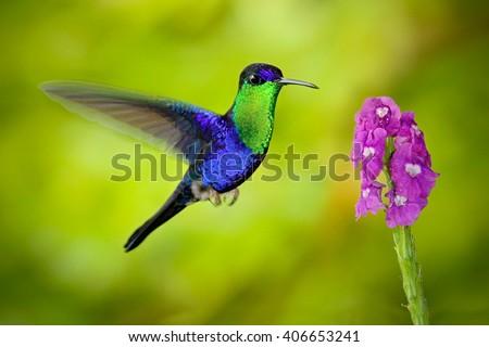 Beautiful shiny tropic blue bird. Nice bird hummingbird Crowned Woodnymp. Bird flying next tu pink bloom flower, glossy bird in the nature habitat. Hummingbird from Costa Rica. Action scene with bird. - stock photo