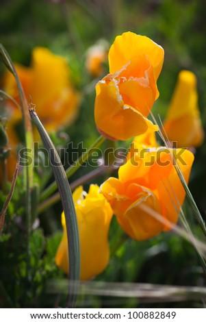 Beautiful shot of California Poppy Wildflowers at Sunset State Beach - stock photo