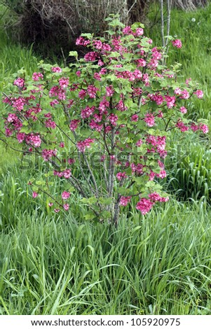 Beautiful shrub with pink blossoms of the ribes sanguineum bush in spring growing outside in a natural area filled with tall grass. - stock photo