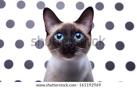 Beautiful Siamese cat.  - stock photo