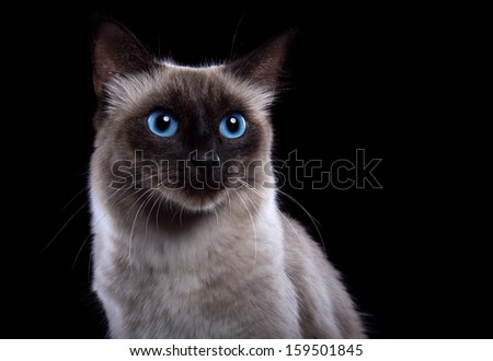 Beautiful Siamese cat on a black background. - stock photo