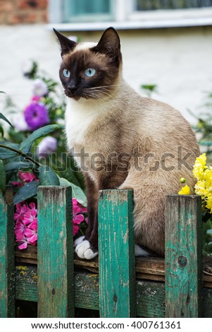 Beautiful Siamese cat on the fence in the garden. Siamese cat on the fence.  Cat in the garden. - stock photo