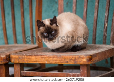 Beautiful siamese cat with blue eyes having rest on the old chair - stock photo