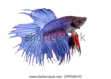 beautiful siamese fighting fish  in isolated on white background