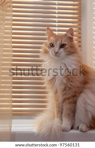 Beautiful Siberian cat beige color sits on the window
