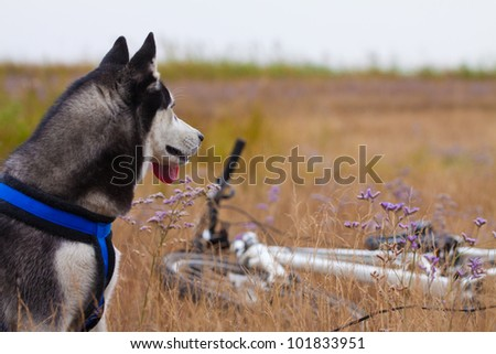 beautiful siberian husky - stock photo