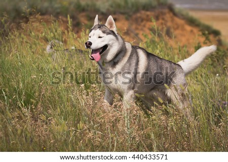 Beautiful siberian husky dog of wolf puppy running in summer field - stock photo