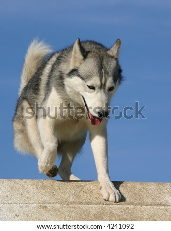 beautiful siberian husky in agility - stock photo
