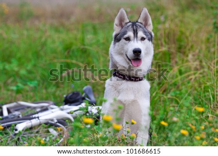 beautiful siberian husky in field - stock photo