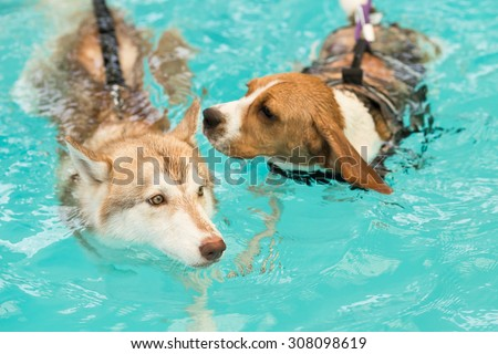 Beautiful Siberian Husky's swimming in the dog pool with her Beagle's Friend (Focus at the Siberian) - stock photo