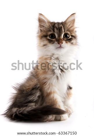 Beautiful siberian kitten - stock photo