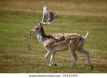 Beautiful sika deer with great horns running on a meadow - stock photo