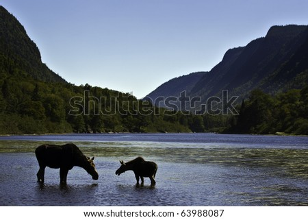 Beautiful silhouette female moose with is calf. Hills and river background from National park Jacques Cartier Quebec Canada. - stock photo
