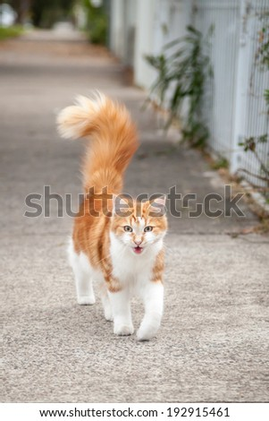 Beautiful silky young ginger and white tabby cat walking down the footpath or sidewalk with his tail upright and meowing - stock photo