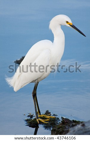 Beautiful silver heron (Ardea alba) portrait at the beach - stock photo