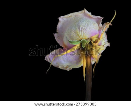 Beautiful Single Faded Rose isolated On Black - stock photo