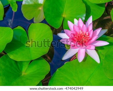 beautiful single pink lotus water flower blossoming