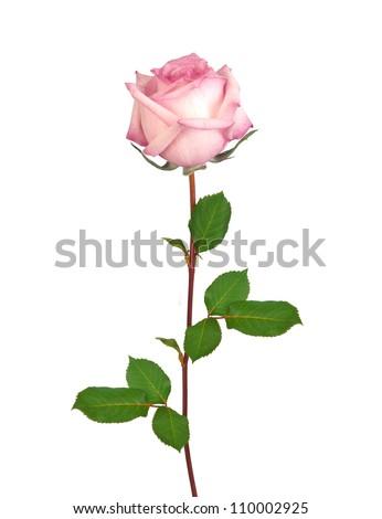 Beautiful single pink rose isolated on white background - stock photo